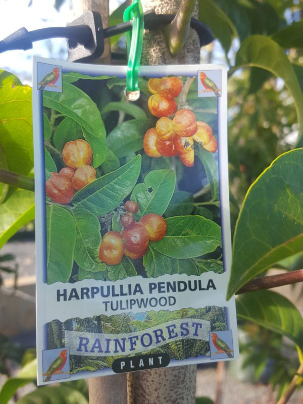 """Harpullia Pendula """"Tulipwood"""""""