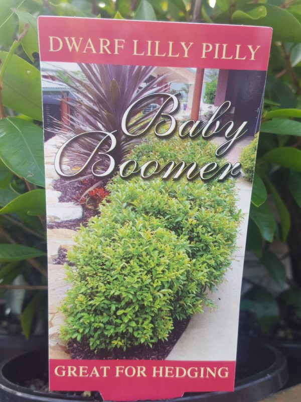 """Lilly Pilly """"Baby Boomer"""""""