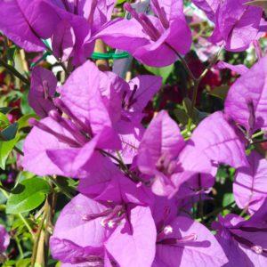 Bougainvillea Purple Cascade