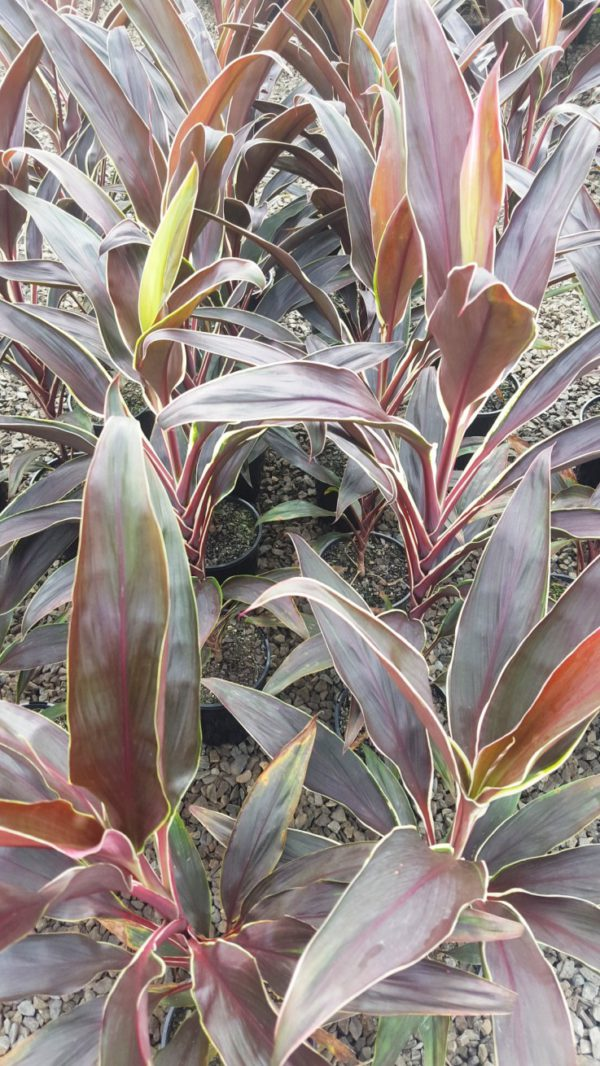 Cordyline fruiticosa varieties