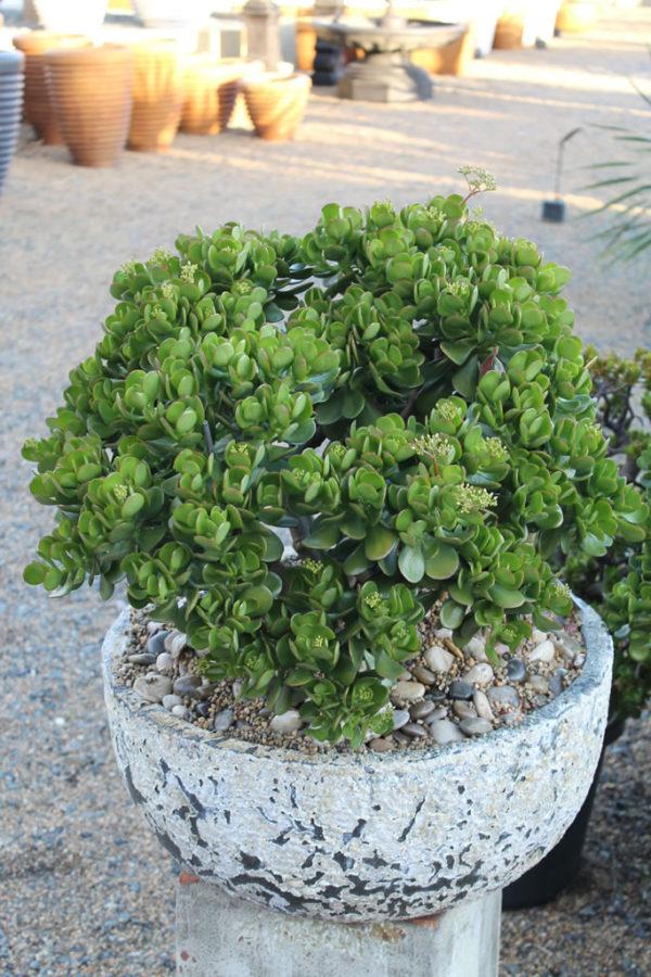 """Crassula Ovata """"Oval Leaf Jade"""""""
