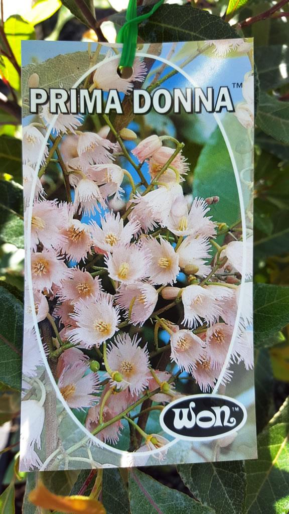 """Elaeocarpus Reticulatus """"Prima Donna"""""""