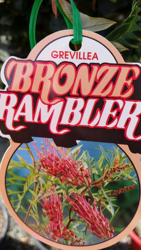 """Grevillea """"Bronze Rambler"""""""