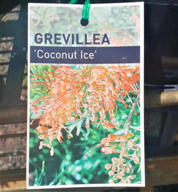 "Grevillea ""Coconut Ice"""