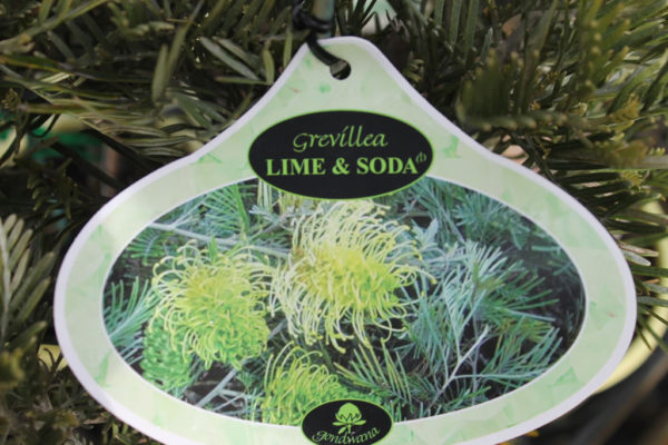 """Grevillea """"Lime and Soda"""""""