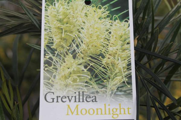 """Grevillea """"Moonlight"""""""