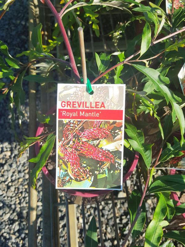 "Grevillea ""Royal Mantle"""