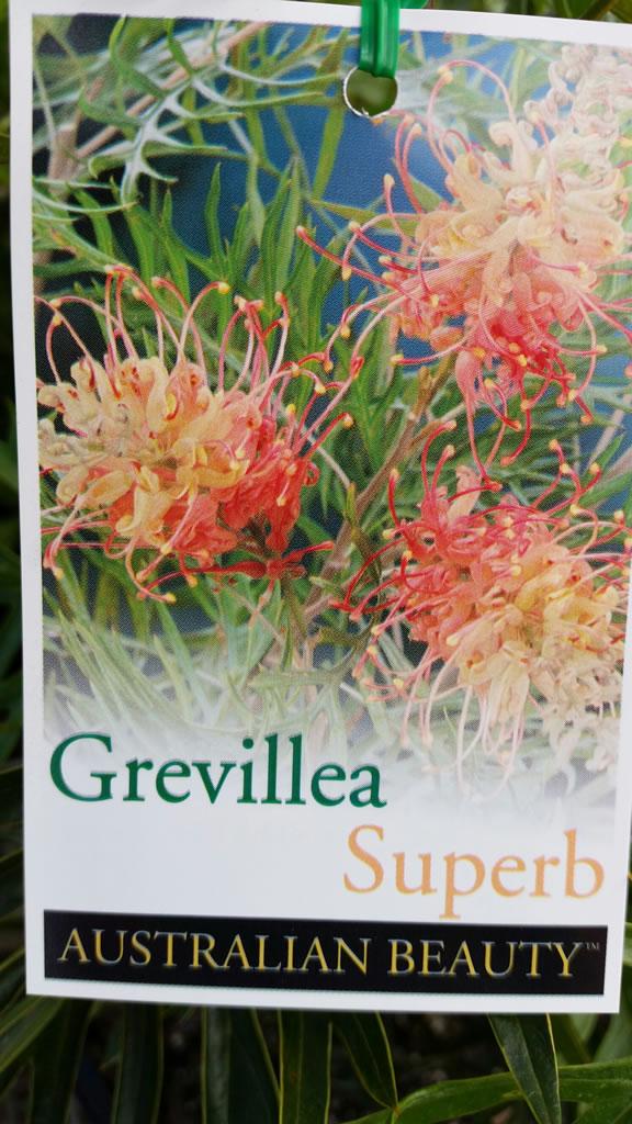 """Grevillea """"Superb"""""""