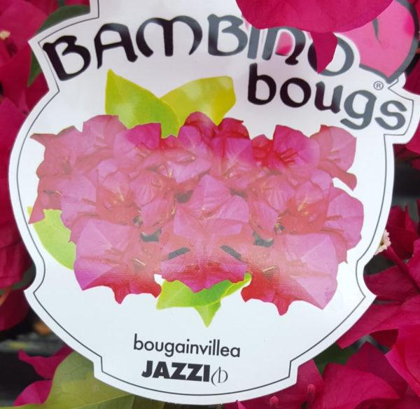 """Jazzi """"Bambino"""" Bougainvillea"""