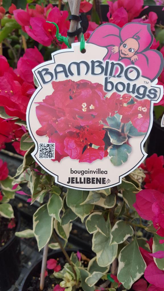 """Jellibene """"Bambino"""" Bougainvillea"""