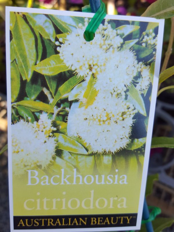 "Backhousia Citriodora ""Lemon Scented Myrtle"""