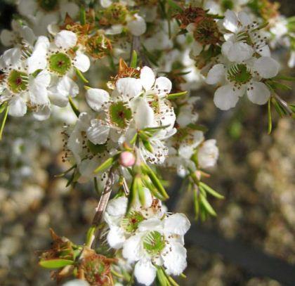 """Leptospermum Cardwell """"tea tree"""""""