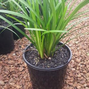 Liriope – Evergreen Giant