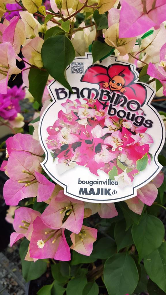 "Majik ""Bambino"" Bougainvillea - Bougainvillea, Plants ..."