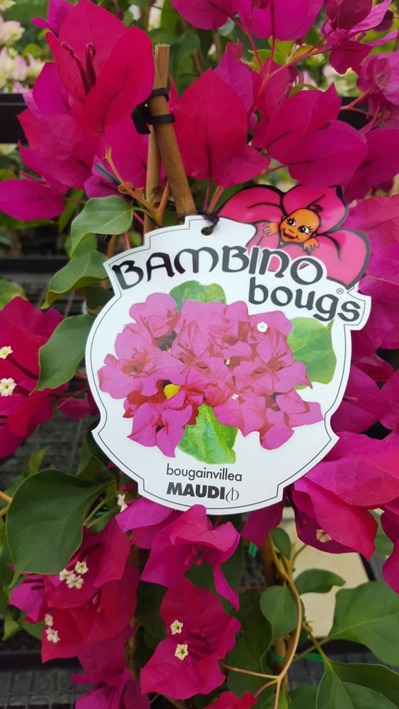 """Maudi """"Bambino"""" Bougainvillea"""