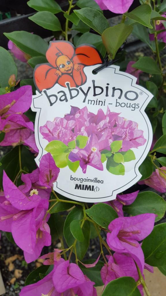 "Mimi ""Babybino"" Bougainvillea"