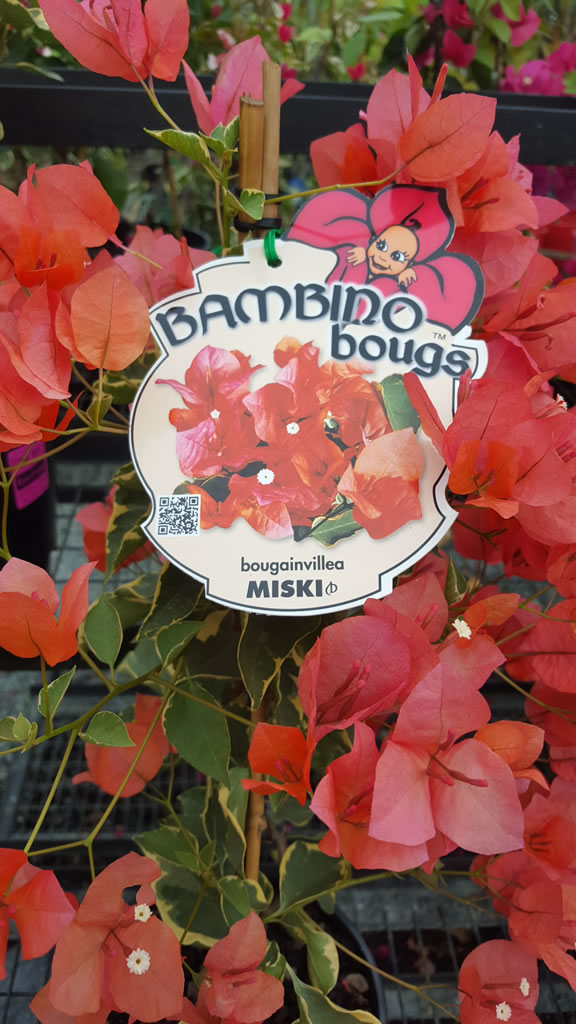 """Miski """"Bambino"""" Bougainvillea"""