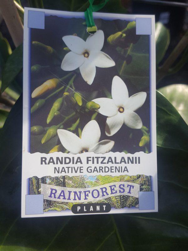 """Native Gardenia """"Randia Fitzalanii"""""""