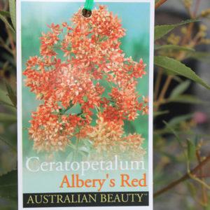"""Albery's Red"" NSW Christmas Bush"