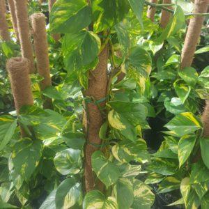 Pothos or Devils Ivy