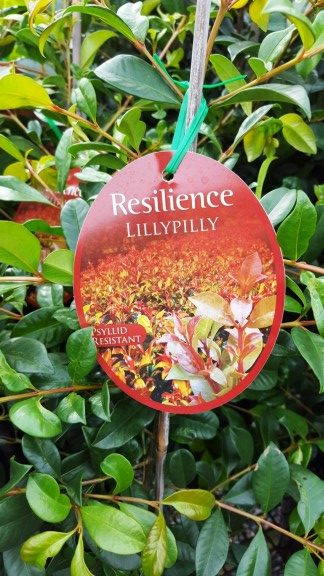 Lilly Pilly – Resilience