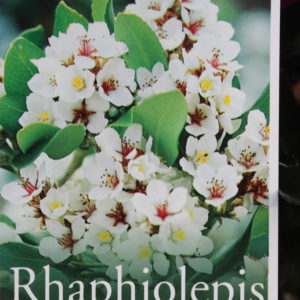 Rhaphiolepsis Intermedia