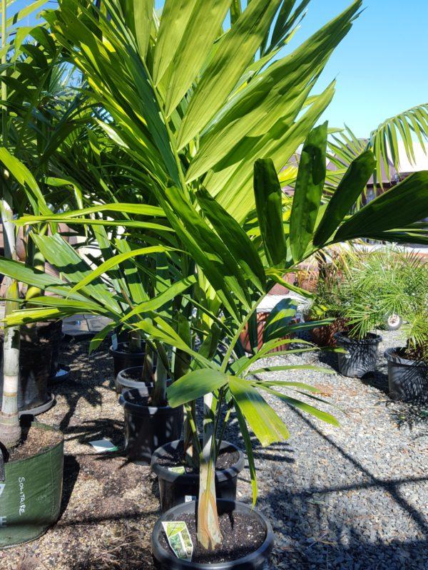 Solitaire Palm