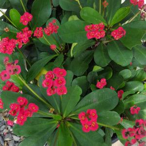 Euphorbia Somona