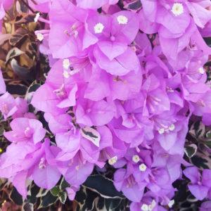 Bougainvillea 'Variegated Lilac'