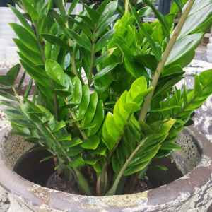 Zamioculcas zamiifolia 'Zanzibar Gem'