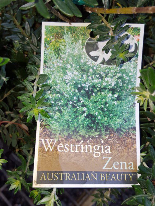 """Westringia """"Zena"""""""